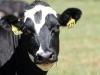 IMG_6620 Levi cow