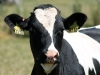 IMG_6626 Hero cow