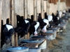 IMG_6648 calves